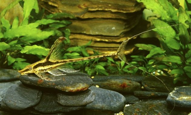 Twig Catfish