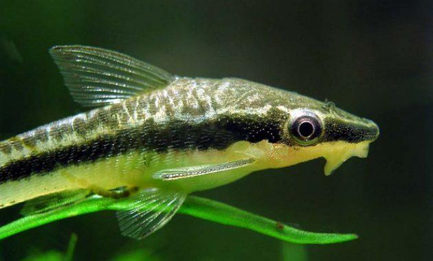 Best Freshwater Aquarium Algae Eaters: Otocinclus Catfish 3