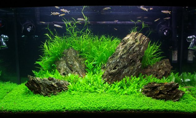 Choosing The Right Fish For Your Aquascape Iwagumi Style