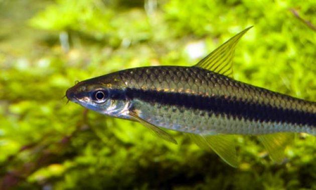 The Best Algae Eaters To Get Rid Algae Invasion: Flying Fox Fish 2