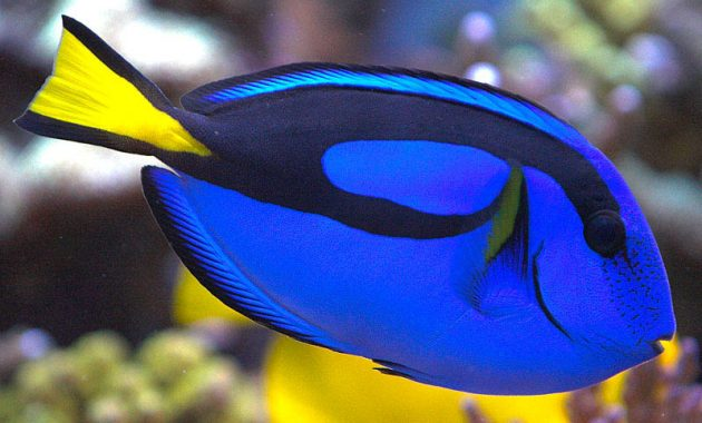 Awesome Algae Eaters Tropical Fish: Blue Tang 2