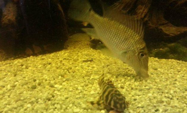 Effective Algae Eating Fish Plecostomus in Aquariums: Candy Striped Pleco 3
