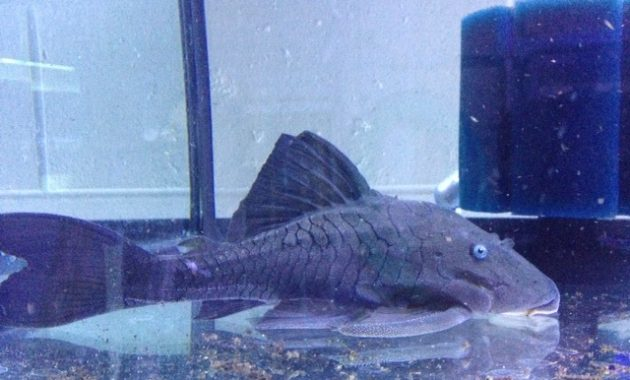 Excellent Algae Eating Fish Plecostomus in Aquariums: Blue Panaque Pleco 3