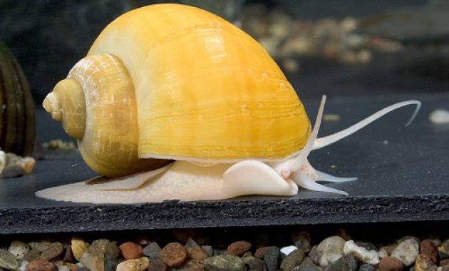 The Best Algae Eater Snails in Freshwater Aquarium: Inca Snail 3