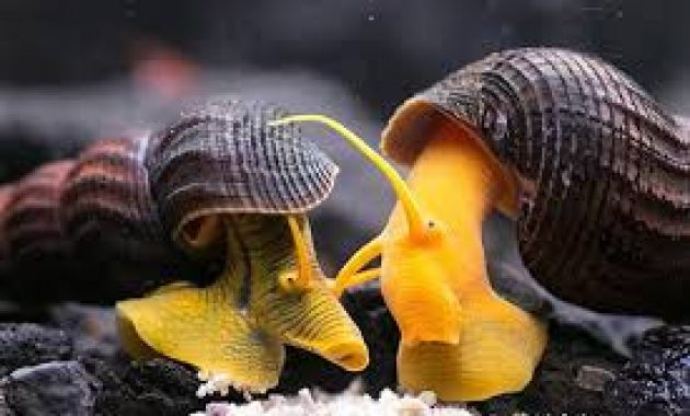The Best Algae Eaters and Scavenger in Freshwater Aquariums: Rabbit Snail 2