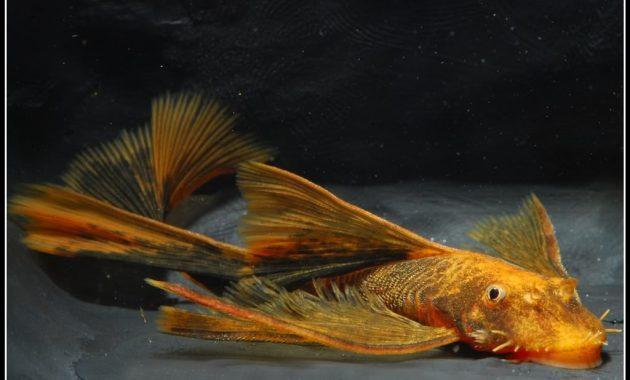 The Best Algae Eating Fish Plecostomus for Aquariums: Longfinned Bristlenose Pleco 2
