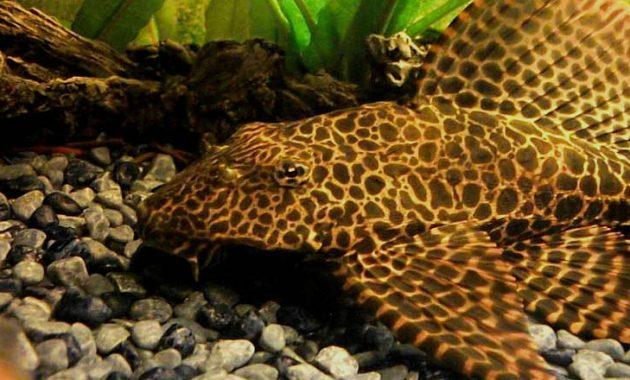 The Good Algae Eating Fish Plecostomus in Freshwater Aquariums: Amazon Sailfin Pleco 3
