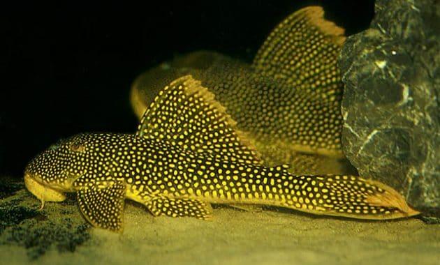 The Great Algae Eating Fish Plecostomus in Aquariums: Golden Cloud Pleco 2