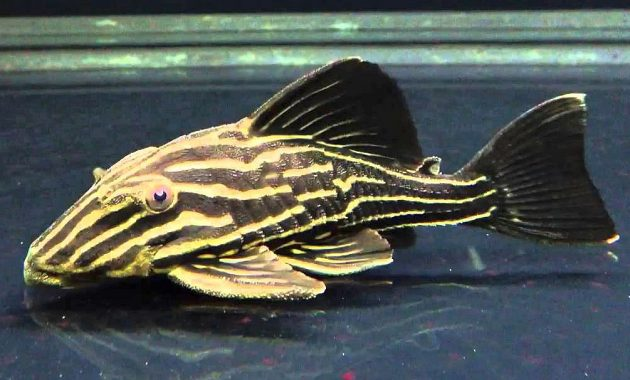 The Great Algae Eating Fish Plecostomus in Freshwater Aquariums: Gold Royal Pleco 2