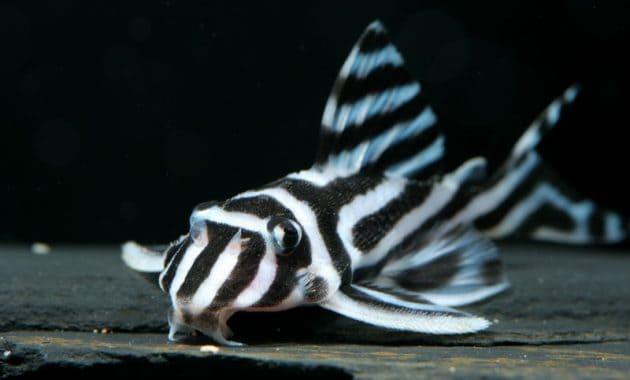 The Popular Algae Eating Fish Plecostomus in Freshwater Aquarium: Zebra Pleco 2