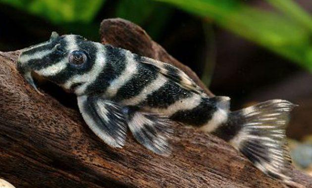 The Popular Algae Eating Fish Plecostomus in Freshwater Aquarium: Zebra Pleco 3