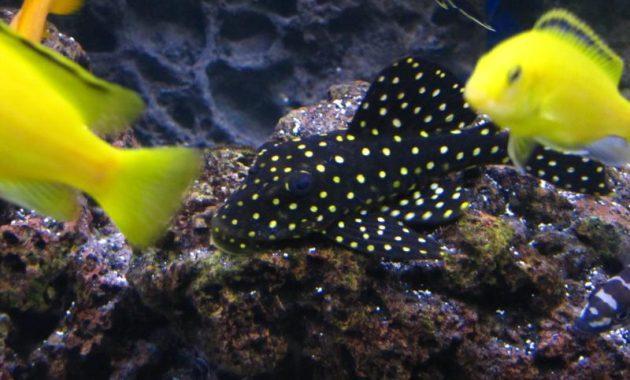 A Unique Algae Eating Fish Plecostomus: Snowball Pleco 3