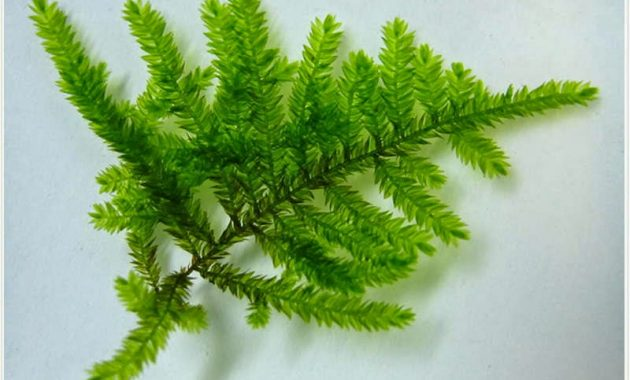 Rare and Exotic Low Tech Aquarium Plants Peacock Moss or Taxiphyllum sp