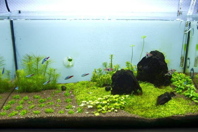 Best Foreground Aquarium Plants For Nano Tanks Elatine hydropiper Or Eight-Stamen Waterwort