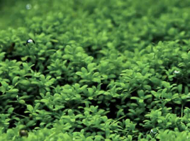 Freshwater Aquarium Plants Guide How To Carpeting Aquarium With Hemianthus Callitrichoides Aka Cuba