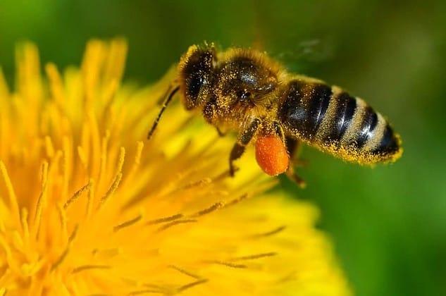 Une abeille butineuse récolte du pollen