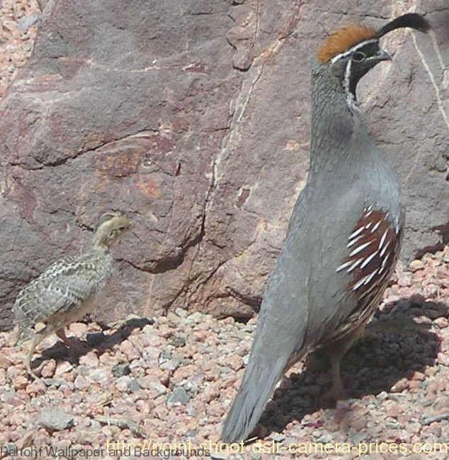 Beautiful Birds Names and Pictures - Quail and Baby