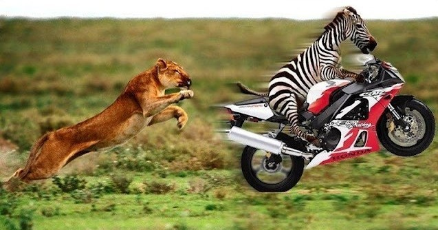 Crazy-and-Funny-Animal-photos-funnylionzebra