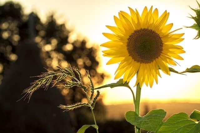 comparing safflower oil vs sunflower oil