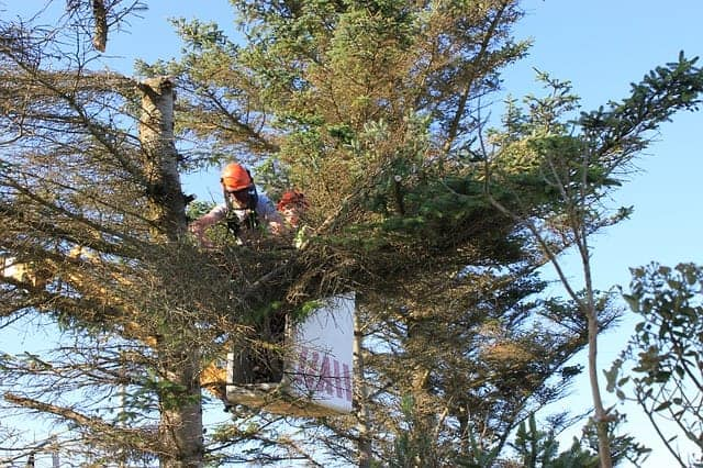 Tree Surgeon in Cardiff surveying a tree before cutting