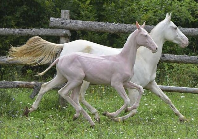 Akhal-Teke horses with Naked Foal Syndrome which means they are hairless due to a recessive trait.