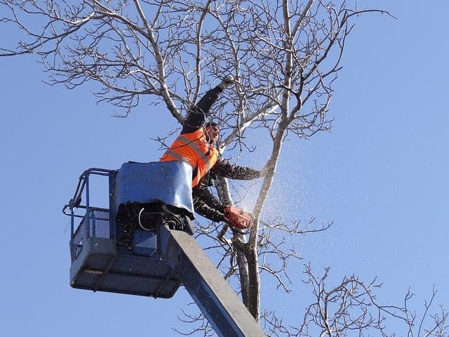 Tree Surgeon on an elevated platform chainsawing branches from a tree