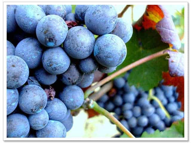 Pinotage Wine South Africa - Learn About South African Wine | Winetraveler.com