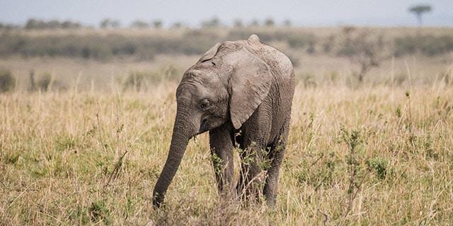 פיל קטן