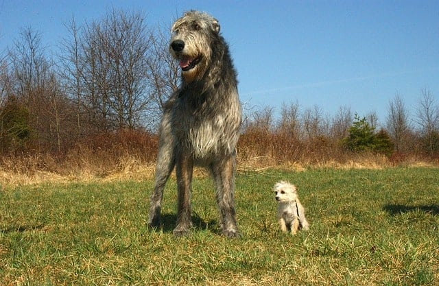 Size of an Irish Wolfhound compared to a small dog