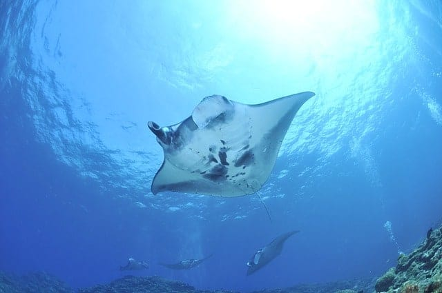 Best Time To Dive With Manta Rays in the Maldives