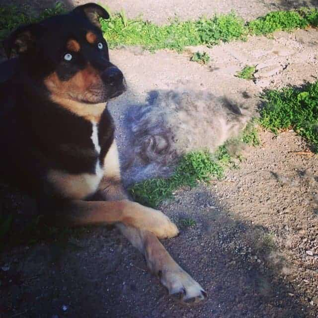 Rottweiler Husky mix next to a lot of fur after brushing
