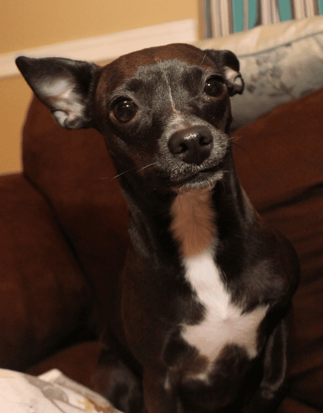 Boston Huahua: The Proud and Loving Designer Dog