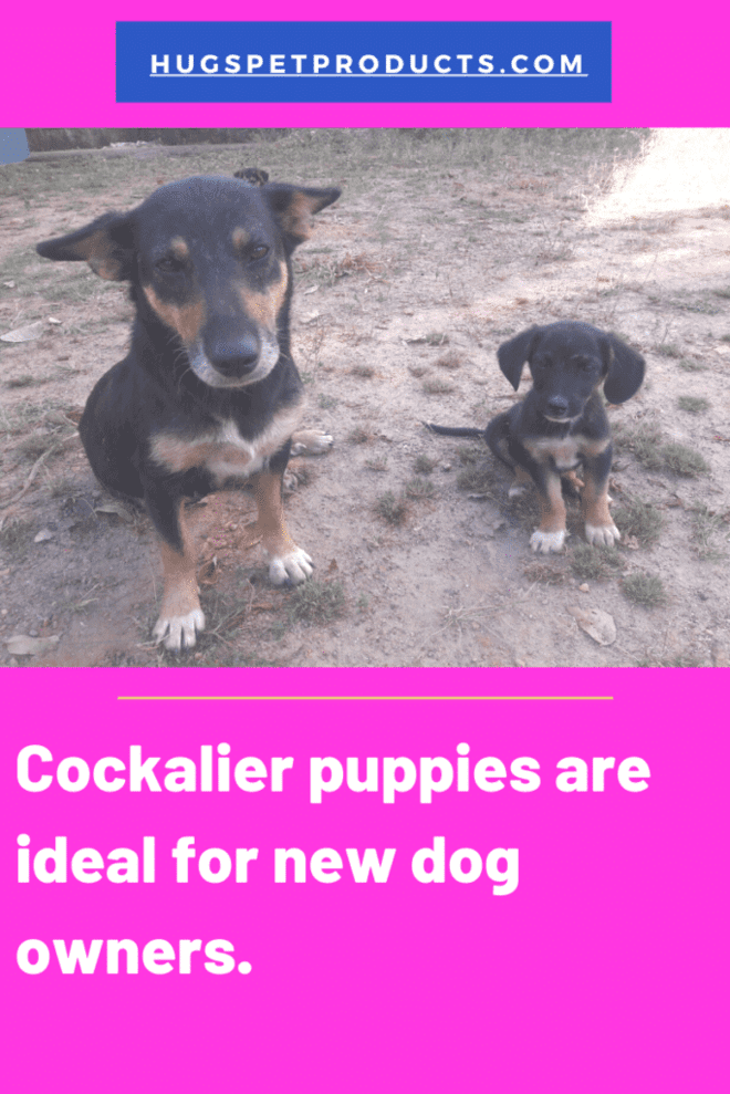 Cockalier puppies are perfect for first time dog owners.