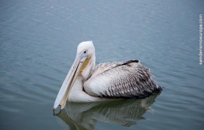 Pelicano en lago cerca de Burgas