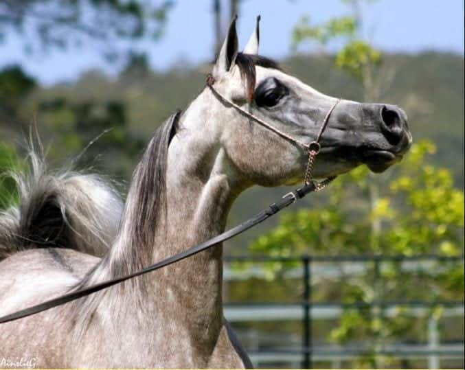Outbreaks of equine viral arteritis may result in significant economic losses to the equine industry. It may cause pregnancy loss in mares, death in young foals and establish a carrier state in stallions.