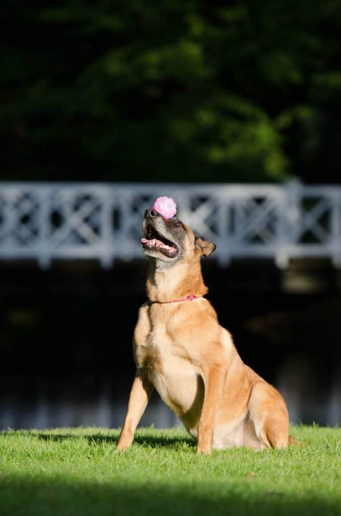 A Malinois dog balancing ball on his nose