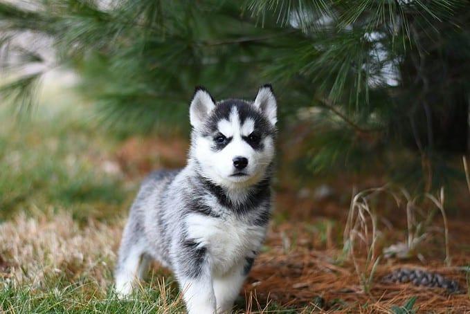 small husky