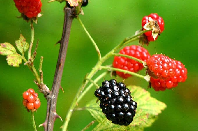 Blackberries are an obvious and very invasive weed that grows abundantly in most hobby farmer hotspots.
