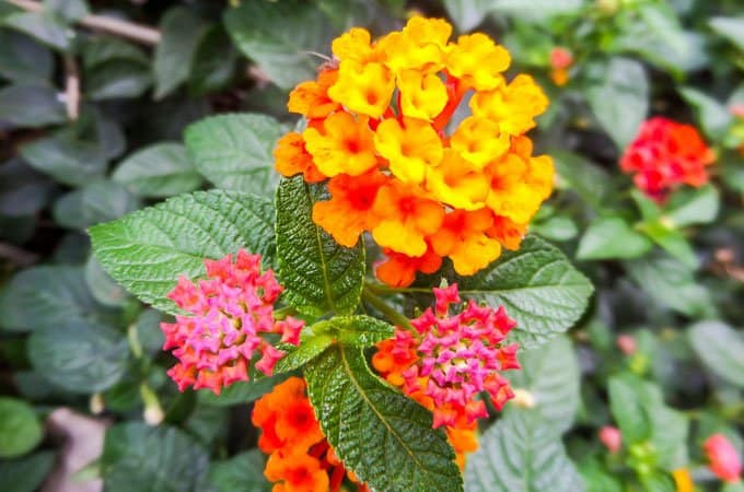 Lantana is a noxious weed currently covering more than 4 million ha of Australia's east coast.