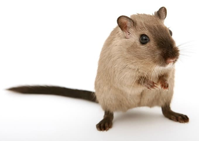 How to Get Rid of Mice Naturally -