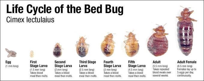 Baby Bed Bugs Nymphs Color Pictures Movement Pestpolicy