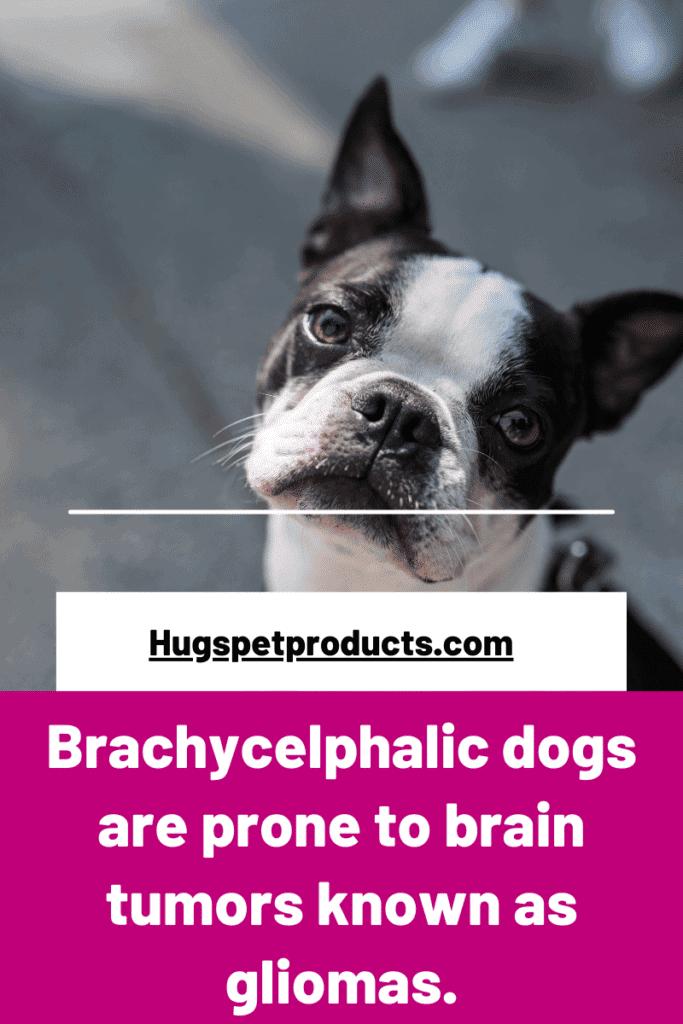 brachycephalic dogs are prone to brain tumors