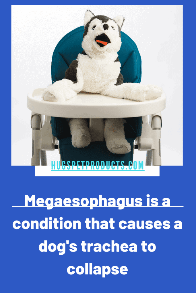 Megaesophagus in dogs causes the trachea to collapse