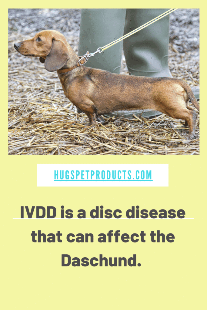 IVDD is a painful intervertebral disease in dogs