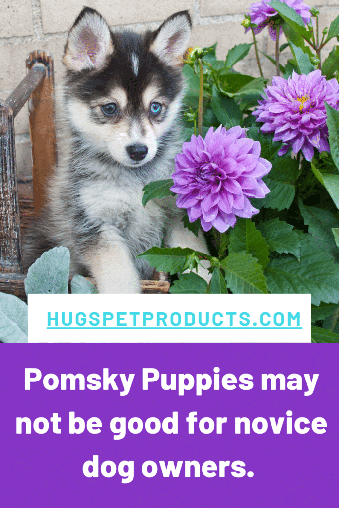 Pomsky Puppies may not be good for novice dog owners