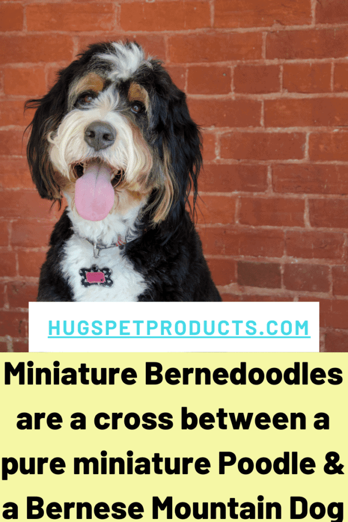 Miniature Bernedoodle puppies are great family dogs