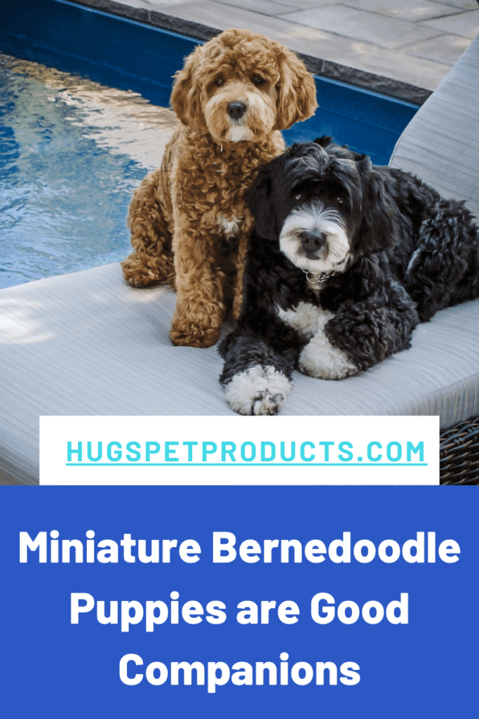 Miniature Bernedoodle Puppies are great companions.