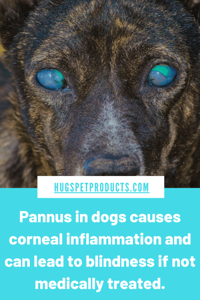 Pannus in dogs can lead to blindness if not treated.