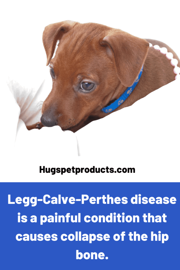 Legg-Calve-Perthes Disease tends to affect miniature or small breeds.
