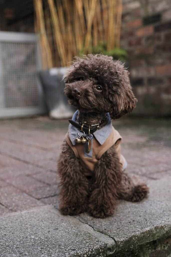 Little poodle with a stylish haircut